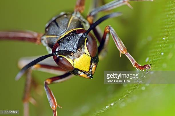 paper wasp frontal - paper wasp stock pictures, royalty-free photos & images