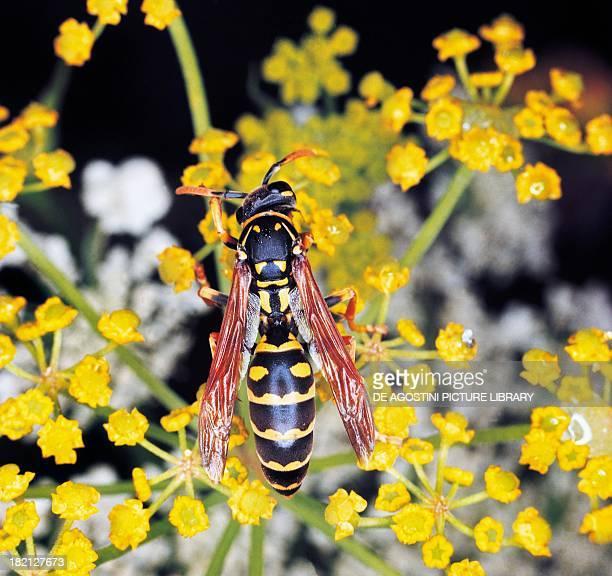 Paper Wasp , Hymenoptera.