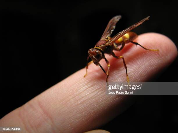 paper wasp on finger - paper wasp stock pictures, royalty-free photos & images
