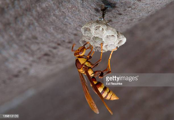 paper wasp (polistes fuscatus) on paper nest. everglades national park, florida, usa - paper wasp stock pictures, royalty-free photos & images