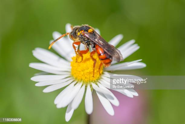 paper wasp perched on a common white daisy - paper wasp stock pictures, royalty-free photos & images