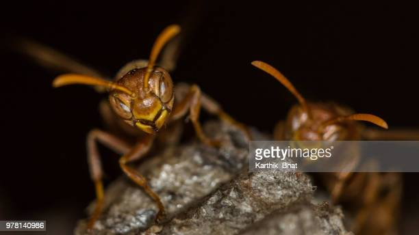 paper wasp - paper wasp stock pictures, royalty-free photos & images