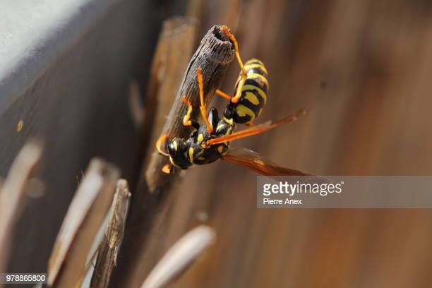 paper wasp... - paper wasp stock pictures, royalty-free photos & images