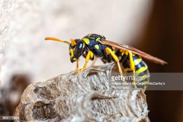 paper wasp queen - nido di vespe foto e immagini stock