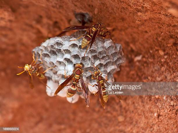 paper wasps at their nest / vespiary - paper wasp stock pictures, royalty-free photos & images