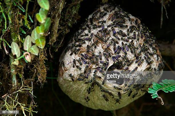 Paper wasps swarming around paper nest in tree Tapanti National Park Costa Rica Central America