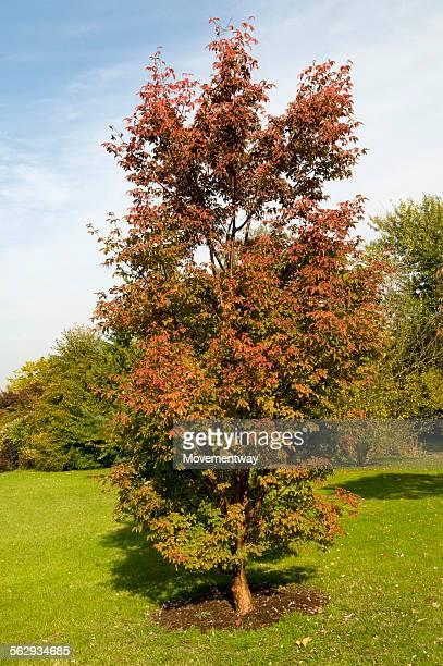Paperbark maple -Acer griseum-