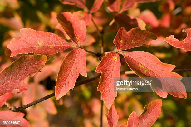 paperbark maple -acer griseum- - maple leaf stock photos and pictures