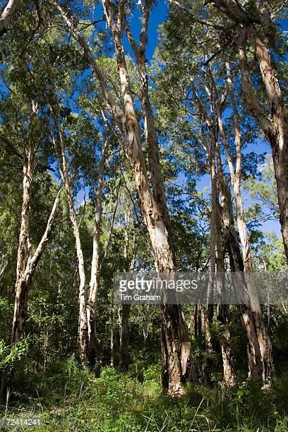 Paperbark Tea Trees Mary Creek in the Daintree Rainforest Australia