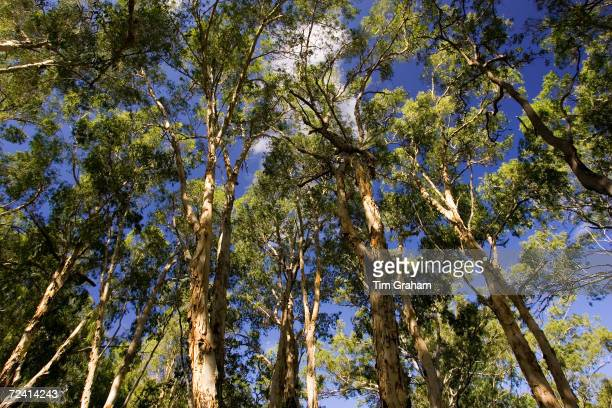 Paperbark Tea Trees Mary Creek in the Daintree Rainforest Australia
