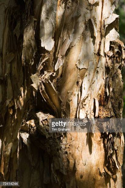 Paperbark TeaTree trunk Mary Creek in the Daintree Rainforest Australia