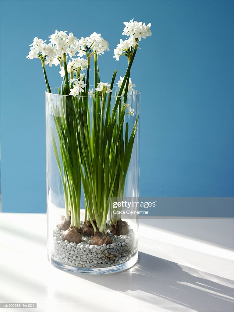 Paperwhite Narcissus Stock Photos And Pictures Getty Images