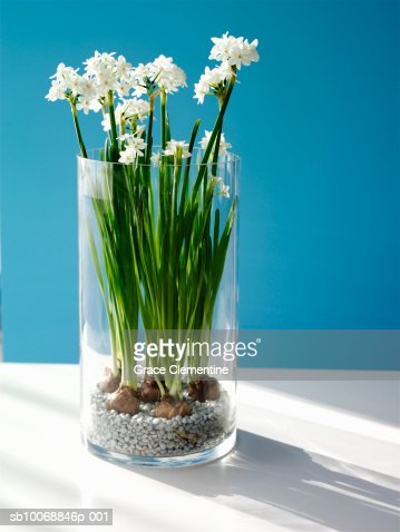 Paperwhite Daffodils In Vase Closeup Stock Photo Getty Images