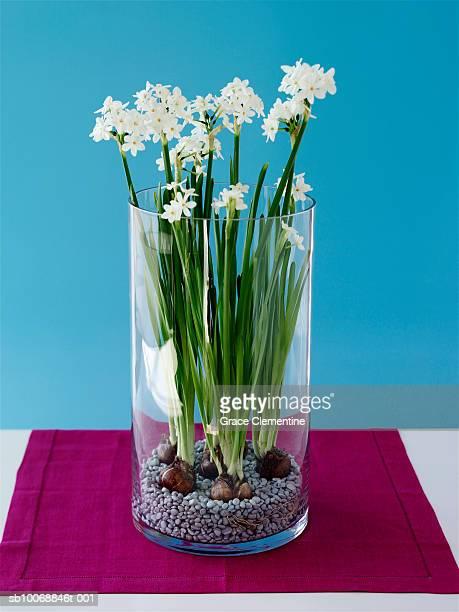 paperwhite daffodils (narcissus papyraeus) in vase, close-up - blumenzwiebel stock-fotos und bilder