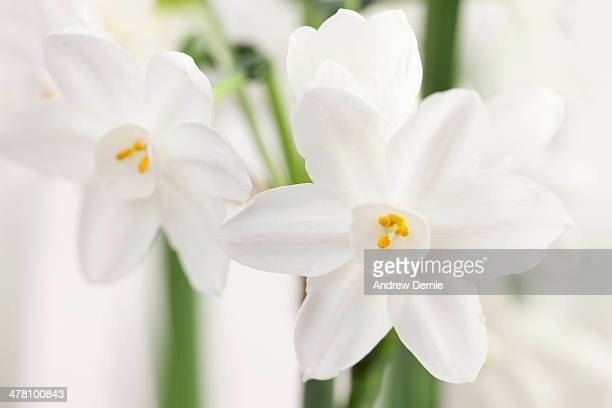 Paperwhite narcissus stock photos and pictures getty images paperwhite flowers mightylinksfo
