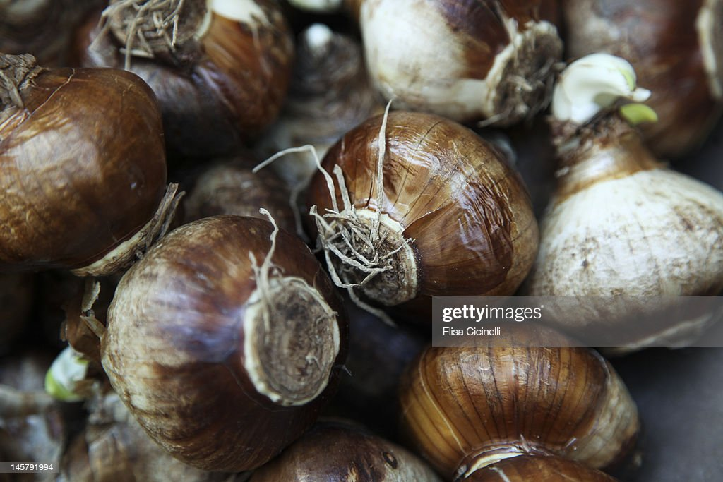 Paperwhite narcissus bulbs at a farmers' market : Stock Photo