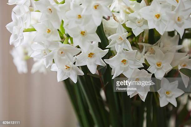 Paperwhite narcissus stock photos and pictures getty images paperwhite narcissus narcissus papyraceus multiple stems displayed together indoors mightylinksfo