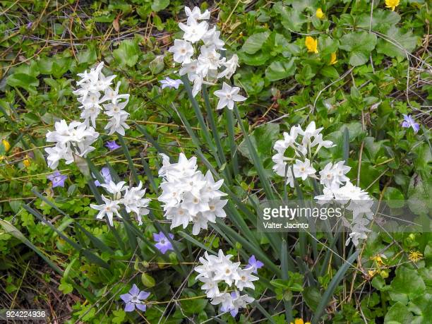 paperwhite narcissus (narcissus papyraceus) - narcissus mythological character stock photos and pictures