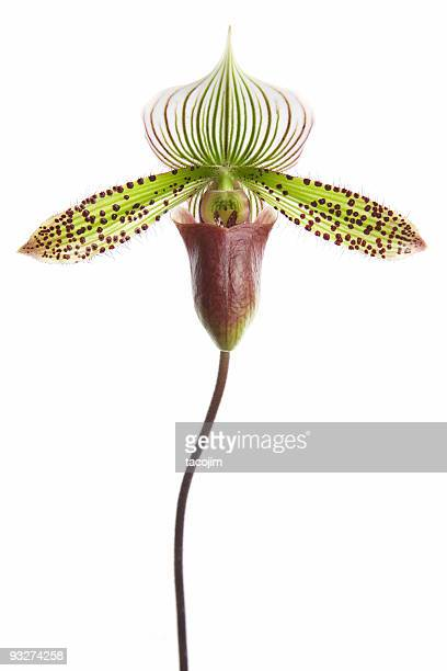 paphiopedilum orchid - long stem flowers stock pictures, royalty-free photos & images