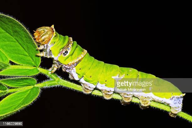 papilio demoleus caterpillar (lemon butterfly) - swallowtail butterfly stock pictures, royalty-free photos & images