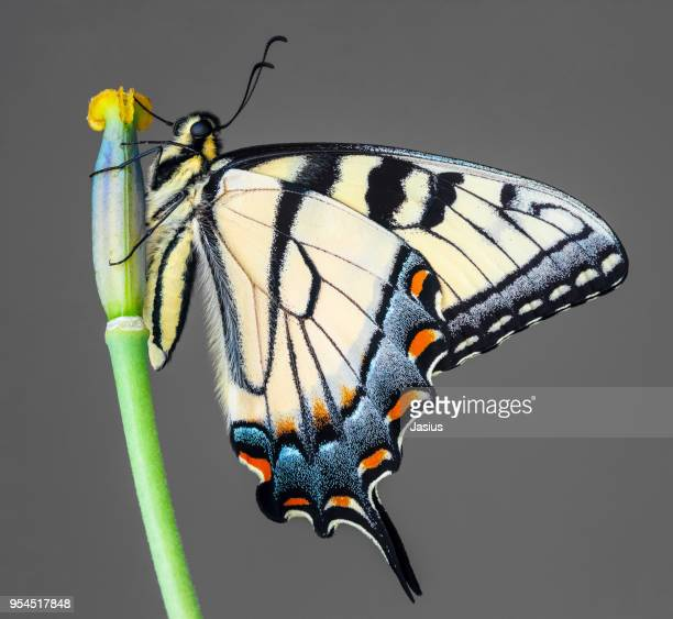 papilio glaucus – eastern tiger swallowtail butterfly - swallowtail butterfly stock pictures, royalty-free photos & images