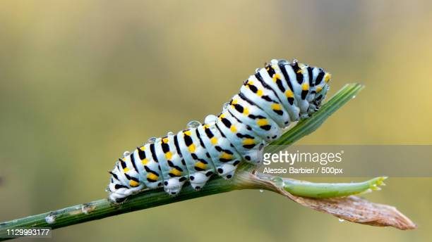 papilio macaone - caterpillar stock pictures, royalty-free photos & images