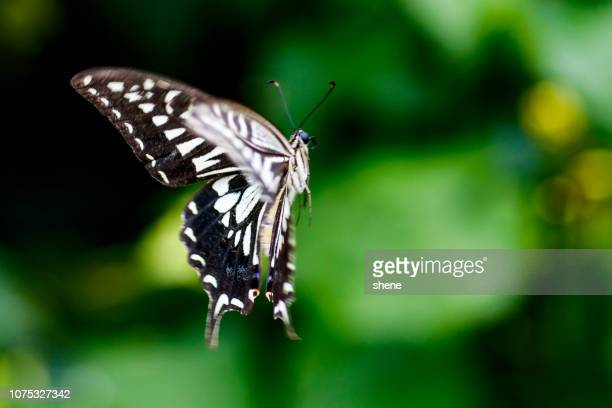 Papilio Machaon(Swallowtail Butterfly) in Flight