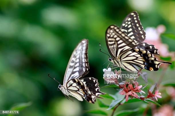 papilio machaon(swallowtail butterfly) in flight - jeju stock-fotos und bilder