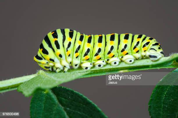 papilio machaon – old world swallowtail butterfly caterpillar - swallowtail butterfly stock pictures, royalty-free photos & images