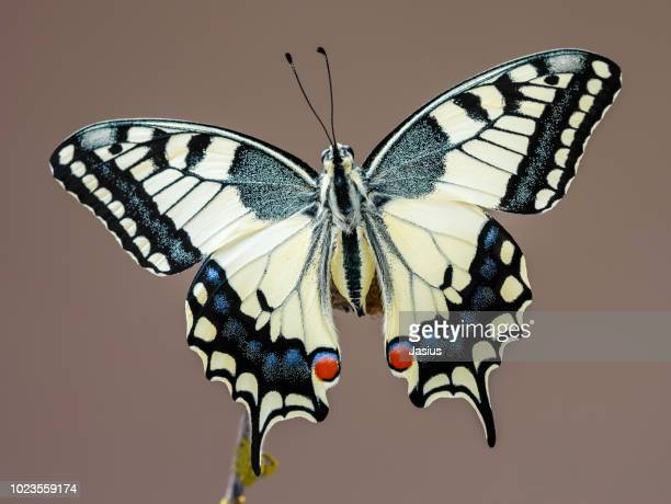 papilio machaon – old world swallowtail butterfly - swallowtail butterfly stock pictures, royalty-free photos & images