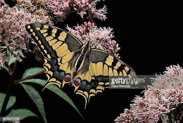 Papilio machaon (old world swallowtail, common yellow swallowtail, swallowtail)