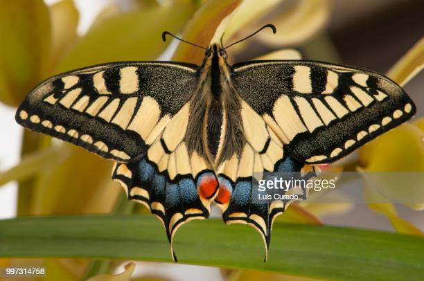 papilio machaon (borboleta cauda-de-andorinha) - farfalla a coda di rondine foto e immagini stock