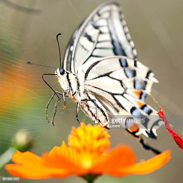 Papilio Machaon takes off to the sky
