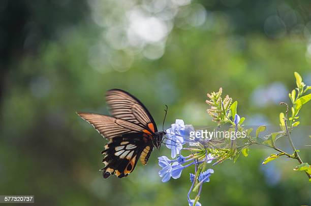 papilio memnon heronus - ulysses butterfly stock pictures, royalty-free photos & images