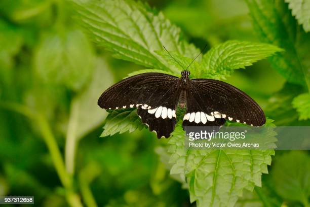 papilio polytes butterfly. the common mormon - victor ovies fotografías e imágenes de stock