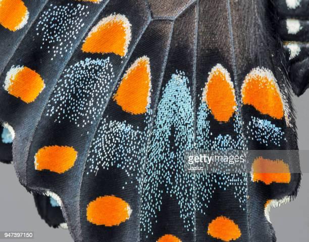 papilio troilus – spicebush swallowtail - farfalle colorate foto e immagini stock