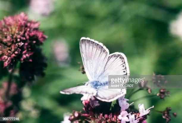 Papillon argus bleunacré femelle à BaumelesMessieurs le 29 août 1978 dans le Jura France