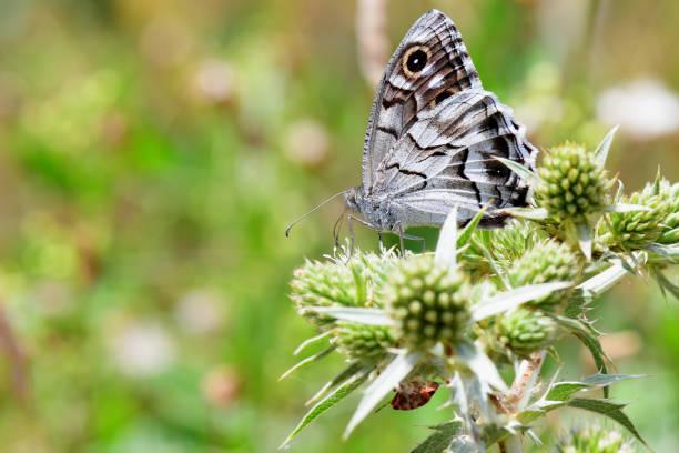 Papillon chevron blanc