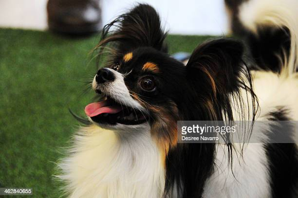 A papillon dog 'Carly' performs at the 138th Annual Westminster Kennel Club Dog Show press conference at Madison Square Garden on January 15 2014 in...