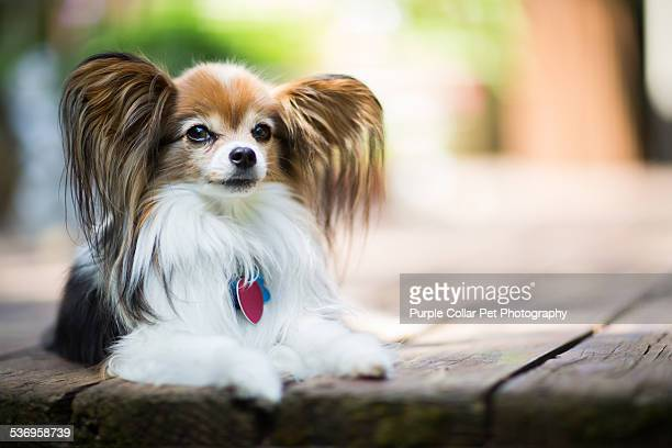 papillon dog laying on wooden deck outdoors - papillon dog stock photos and pictures