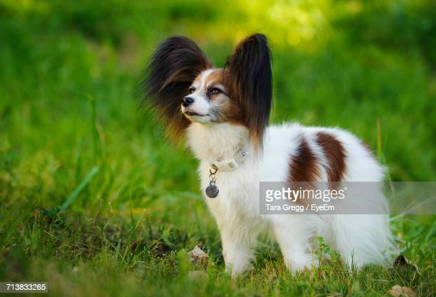 papillon dog looking up on grassy field - papillon dog stock photos and pictures