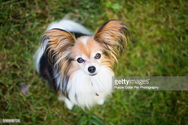 papillon dog looking up - papillon dog stock photos and pictures