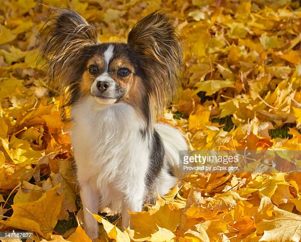 papillon dog - papillon dog stock photos and pictures