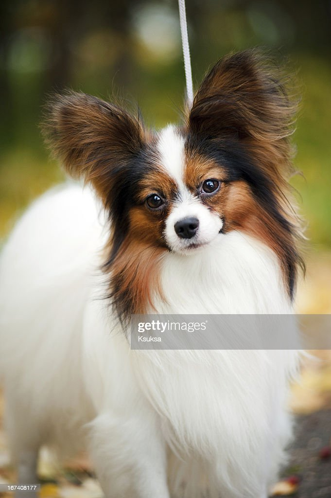Papillon dogs in autumn : Stock Photo