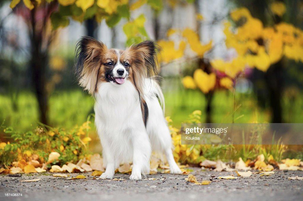 Papillon dogs in autumn : Stock Photo