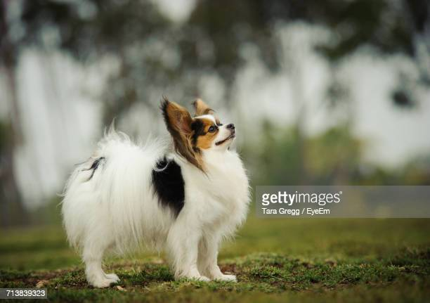 papillon looking up on field - papillon dog stock photos and pictures