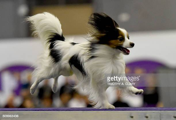 A Papillon runs the agility course during the 3rd Annual Masters Agility Championship on February 13 2016 in New York at the 140th Annual Westminster...