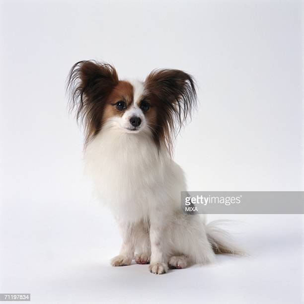papillon sitting - papillon dog stock photos and pictures