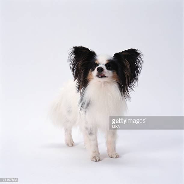 papillon standing - papillon dog stock photos and pictures