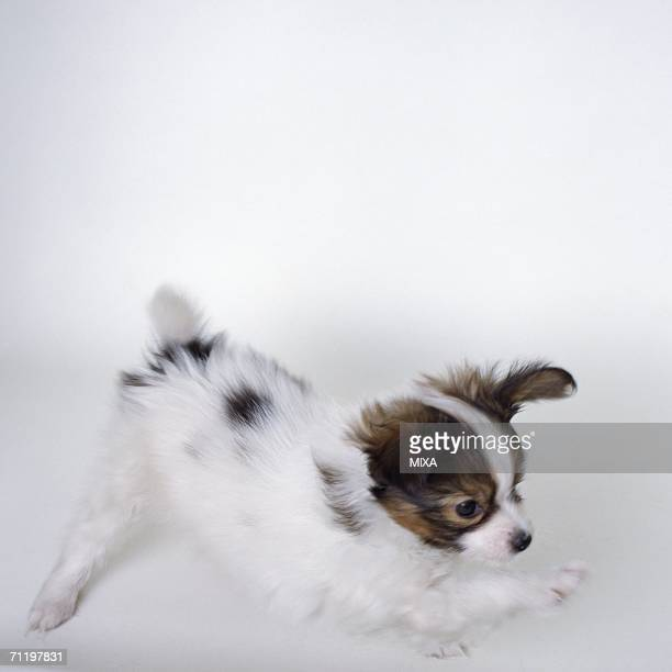 papillon stretching, blurred motion - papillon dog stock photos and pictures